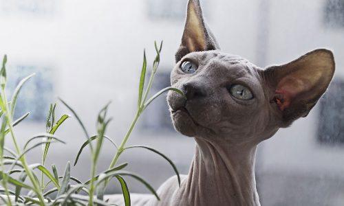 La lista definitiva dei gatti senza pelo